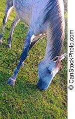 White Horse - Cavalo Branco Lindo pastando
