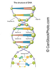 DNA - illustration of the structure of DNA