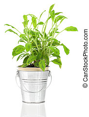 Sage herb plant growing in a distressed pewter pot, isolated over white background. Salvia.
