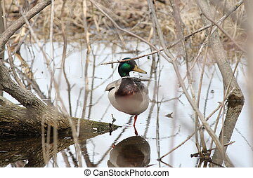 Mallard-Drake - Mallard (drake) in a secluded, water filled...