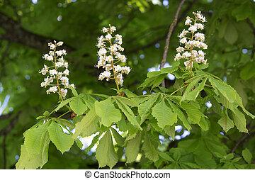 Flowering chestnut tree Aesculus hippocastanum