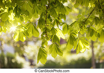 Flowering chestnut tree (Aesculus hippocastanum)