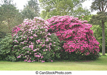 Large rhododendron bushes. - Large Rhododendron bushes in a...