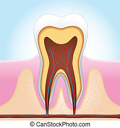 Tooth Section - Medical illustration of tooth section vector...