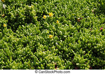 green plant background- sedum rubrotinctum