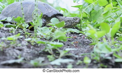 Freshwater turtle in grass - Turtle creeping river among...
