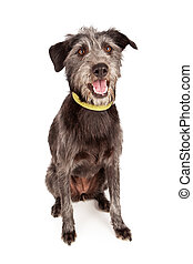 Happy Scruffy Mutt - A cute young female Schnauzer and...