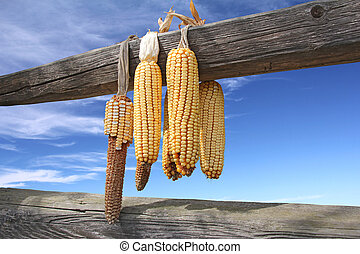 Ears of corn drying on a wooden beam, sky in the background