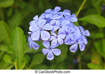 verbena flower in garden