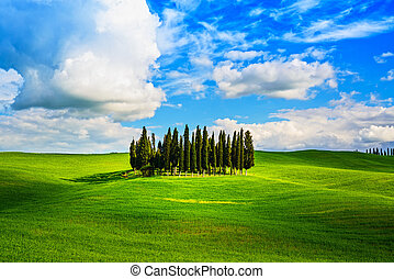 Cypress group and rolling field rural landscape in Orcia valley, San Quirico, Siena, Tuscany. Italy