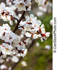 Apricot blossom branches against the green grass background