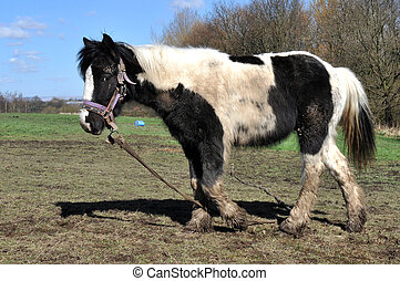Muddy Black And White Horse - Tethered and neglected muddy...