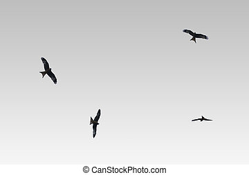 Bird of prey Red kite isolated - The Photography of various...
