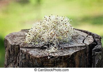 alfalfa, Brotes