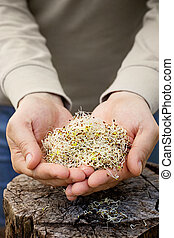 Alfalfa sprouts - Heathy eating food Alfalfa sprouts in...