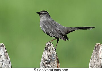 Gray Catbird Dumetella carolinensis on a fence with a green...