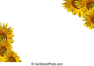 sunflowers with sample text on white background