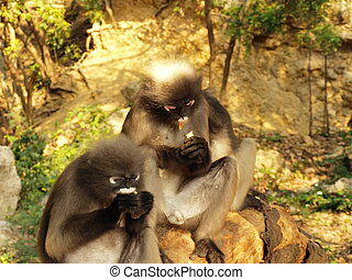 Spectacled langurs (Trachypithecus obscurus) on a tree - The...
