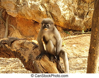Spectacled langur Trachypithecus obscurus sitting on a tree...