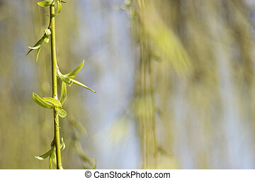 weeping willow twig in the spring - close up shot of a...
