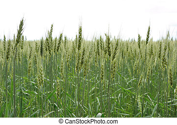 green wheat on backgraund of sky - spica of green wheat on...