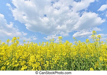summer landscape with yellow flowers field and blue cloudy...