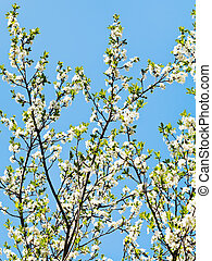 many sprigs of blossoming cherry on blue sky background