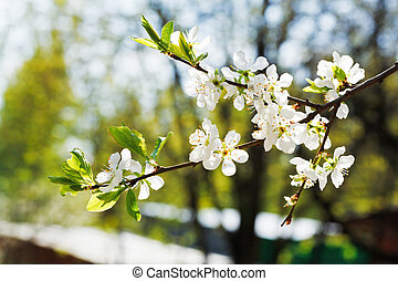 twig of cherry blossoms in fruit orchard in spring