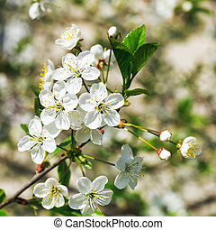 sprig of flowering cherry in spring garden - sprig of white...