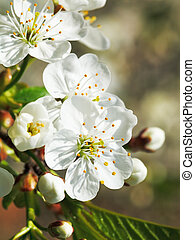 white flowers of blossoming cherry close up in spring garden