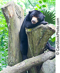 Sun Bear - An endangered Sun Bear soaks in the tropical sun