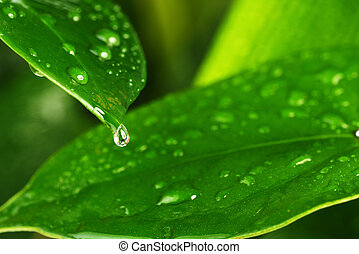 green plant leaf - water drops on green plant leaf