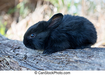 Cottontail bunny rabbit eating grass - Cottontail bunny...