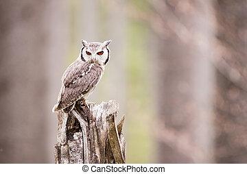 Northern White-faced Owl Otus leucotis - Northern...