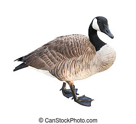 Goose with Clipping Path - Canada Goose isolated on white...