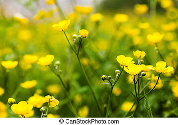 Yellow buttercup flowers field
