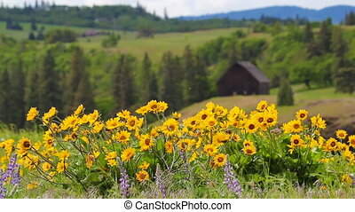 Lupine and Balsamroot Wildflowers Blooming Spring Season in...