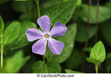 Vinca Minor Purple Flower - Ground cover vinca minor purple...