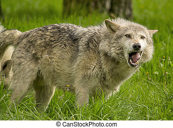 Timber wolf yawning making a funny face.