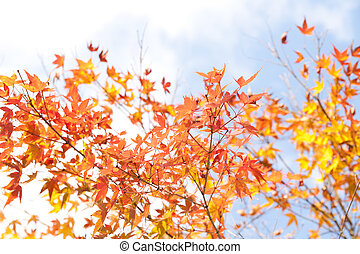 maple colored leaves in the fall