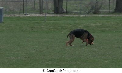 Dog running with frisbee