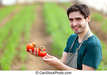 Young attractive farmer harvesting tomatoes - View of a...