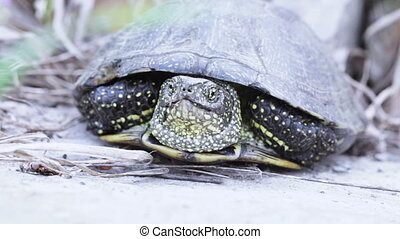 Freshwater turtle on earth - Snaking river turtle midst dry...