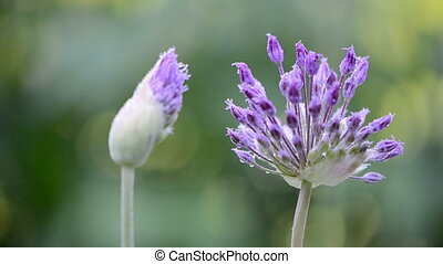 decorative garlic dew - decorative garlic bloom and bud...