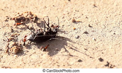 Ants Attack - Group of ants attacked a large beetle lying on...