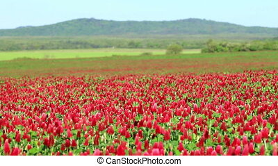 Beautiful Crimson clover flower field