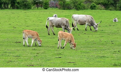 Beautiful hungarian grey cows in the field