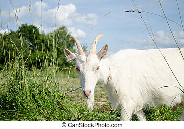 white goat in green meadow pasture - white goat in green...