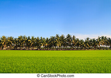 Row of coconut palm tree next to the rice field