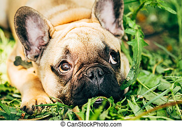 Dog French Bulldog lying on the grass